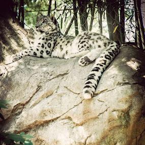by Dennis Scanlon - Animals Lions, Tigers & Big Cats (  )