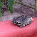 Baja tree frog female