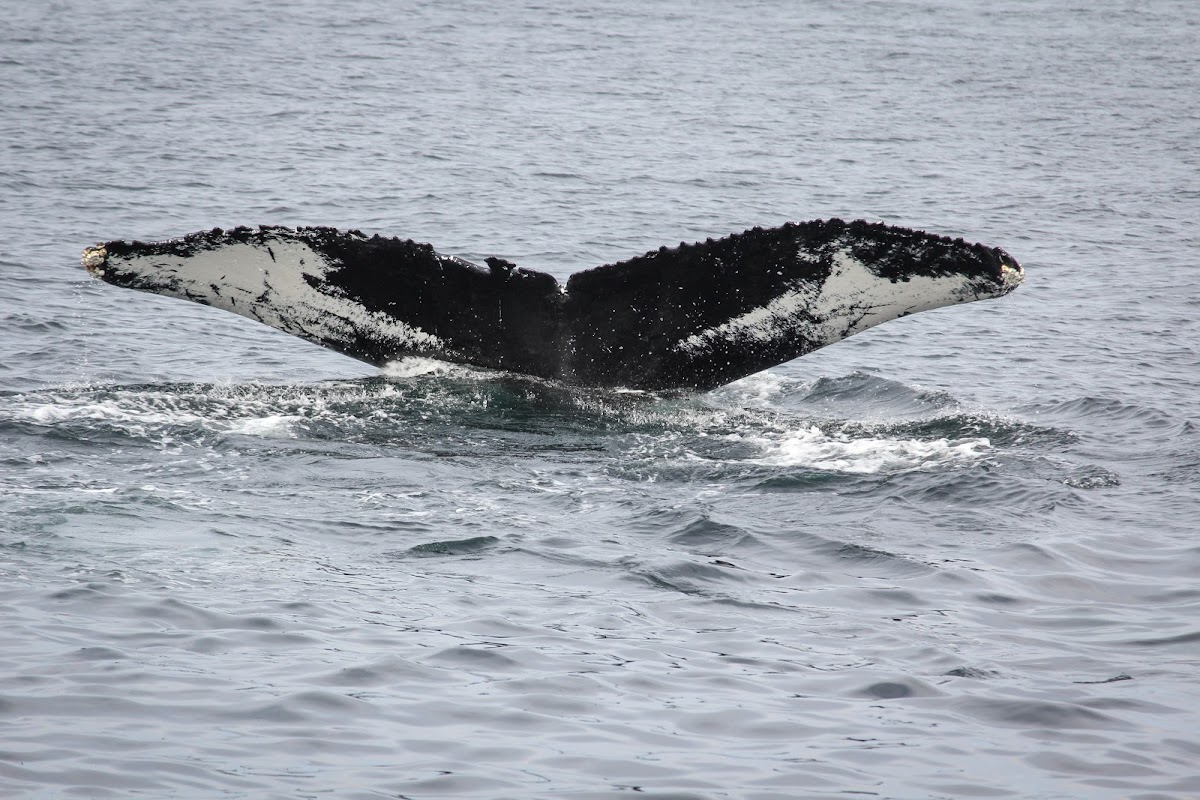 Wave the Humpback Whale