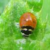 Coccinella Trifasciata Subversa ladybugs