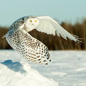 by Jocelyn Rastel-Lafond - Animals Birds ( snowy owl )