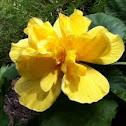 Yellow layered hibiscus