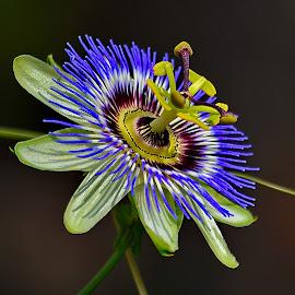 Passion flower by Nikša Šapro - Flowers Single Flower ( saproni nikon passion flower d7100 pasiflora )