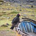 Jote o gallinazo (english name turkey vulture)