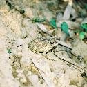 Toad in Taiwan