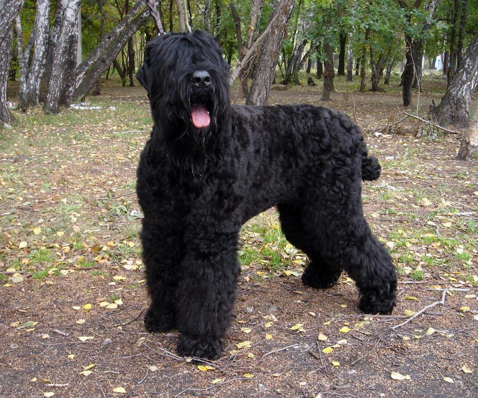 Russian Word For Black Dog