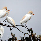 Garça-vaqueira (Cattle Egret)