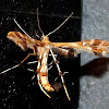Grape Plume Moth