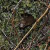 Blackbelly Salamander