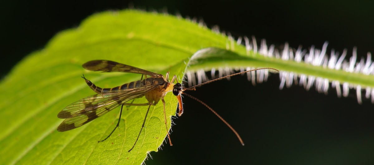 Scorpionfly (female) Mecoptera