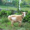 cabra comun