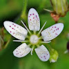 Round-leaved Saxifrage