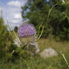 Common Teasel, Wilde Karde
