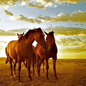 Early morn by Gaylord Mink - Animals Horses ( clouds, nuzzle, horses, sun, early morning )