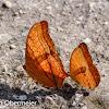 Common Cruiser butterfly/Thai cruiser butterfly