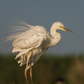 Great egret by Trond Braadland - Animals Birds ( hungary, herons, ardea alba, kiskensuna np, great egret )