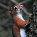 American Red Squirrel?