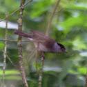 Eurasian Blackcap / Mönchsgrasmücke