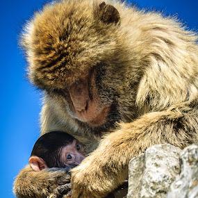 Sneak Peak by RaeLynn Petrovich - Animals Other Mammals ( love, protection, mother, monkeys, gibraltar monkey, baby, nursing, monkey )