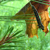Pine Sawfly larva Caterpillar