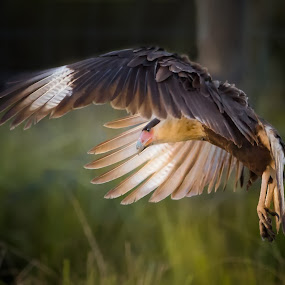 Golden hour flight  by Liza Chevres - Animals Birds ( bird, florida, raptor, crested caracara, golden hour,  )