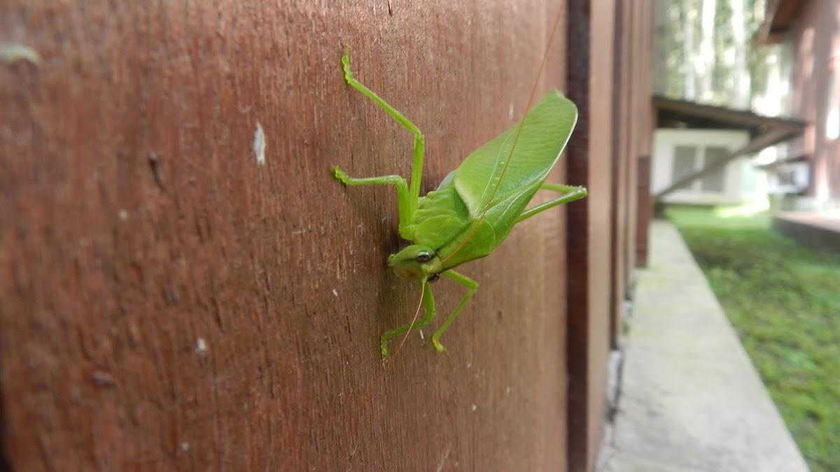 Katydid (Tettigonidae)