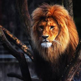 Dad by Kajsa Karlsson - Animals Lions, Tigers & Big Cats ( orange, lion, muted, mane, brown, yellow, tree trunk )