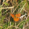 butterfly Large Tortoiseshell
