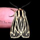 Little Virgin Tiger Moth