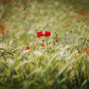 glow y field by Boris Romac - Nature Up Close Gardens & Produce ( k5, croatia, coguar, pentax, 50-200, wr, glavice, boris romac )