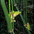 Tree Frogs Of KY, TN, and surrounding area's.