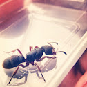 Hunting Ant 紅足穴猛蟻