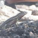 Santa Cruz Lava Lizard