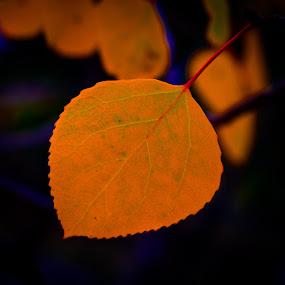 Quaking Aspen by Eddie Tuggle - Nature Up Close Leaves & Grasses ( leaf, quaking, aspen )