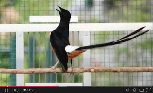 Masterannya Burung Kicau