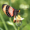 Broad-bordered Acraea
