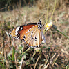 Plain Tiger or African Monarch