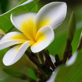 Frangipani by Matt Simner - Flowers Single Flower ( succulent, tropical, frangipani, garden, flower )