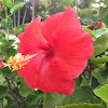 Single red hibiscus