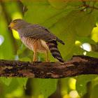 Road side hawk