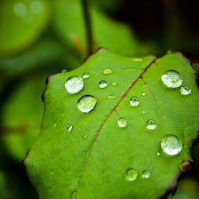 Rose Leaf in Rain by Justin Murazzo - Nature Up Close Leaves & Grasses ( plant, sizes, dew, drop, leaf, beauty, outline, leaves, vein, drip, contrast, macro, daytime, nature, wet, light, closeup, rain, water, purple, afternoon, green, upclose, beautiful, thorny, thorn, veins, portrait, size, rose, fence, shower, raindrop, day, natural,  )