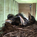 Orioles chicks