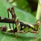 Conjoined Spot Monkey Grasshopper
