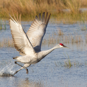 The Takeoff by Scott Helfrich - Animals Birds ( crane sandhillcrane scotthelfrich nature naturephotography willdlife wildlifephotography bird birds birding )