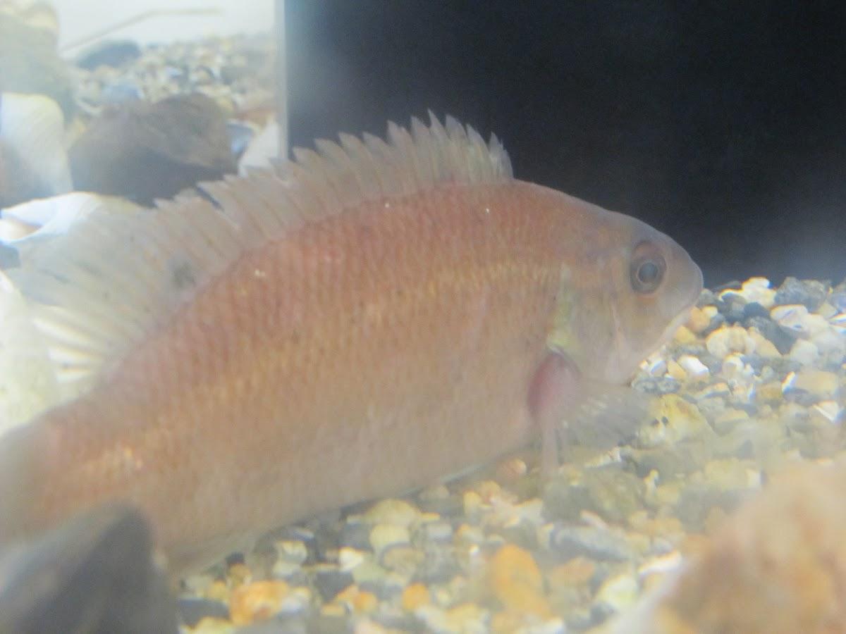 cunner fish