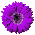Daisy Live Wallpaper FREE icon