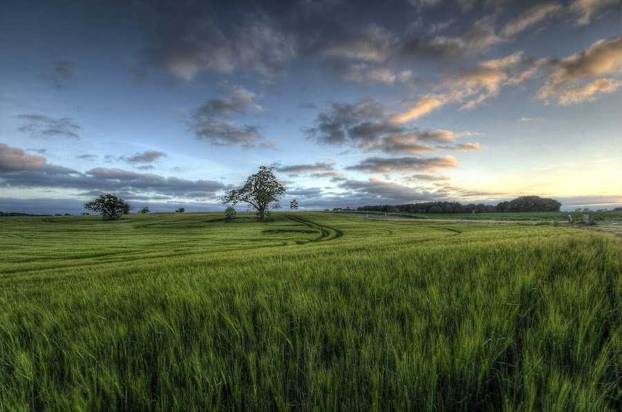 Middle of summer by Kim  Schou - Landscapes Prairies, Meadows & Fields ( kim schou, hdr, vesterborg, summer, trees, evening, fields,  )