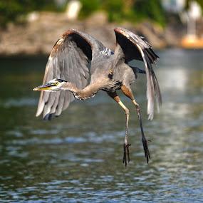 Hang-Gliding Heron by Skye Ryan-Evans - Animals Birds ( bird, great blue heron, wading bird, animal-lovers, ontario river, blue heron, bobcaygeon, wildlife, birdlovers, heron, flying heron )