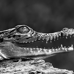 Waiting for prey by Kurit Afsheen - Black & White Animals (  )