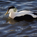 Common Eider (adult drake)